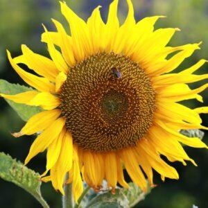 solsikke haven i september
