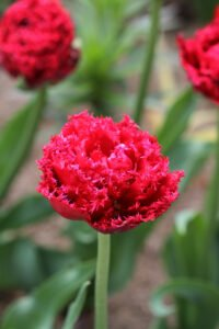 min have - lyserød tulipan