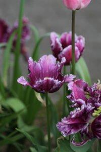 IMG 6915 Mine tulipaner - forår 2021