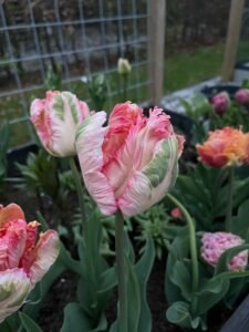 IMG 9772 Mine tulipaner - forår 2021