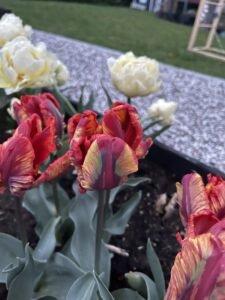 IMG 9773 Mine tulipaner - forår 2021