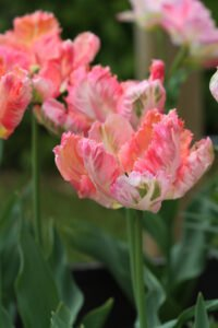 abricotparrot tulipan Mine tulipaner - forår 2021