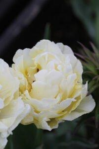 Min have - pæon tulipan hvid