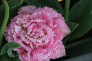 Min have - pæon tulipan