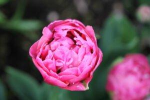 Min have- tulipaner