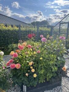 Dahlia i haven
