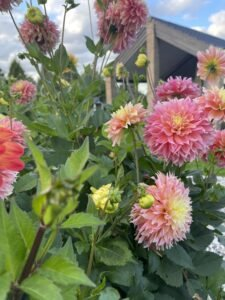 Dahlia bed - i haven